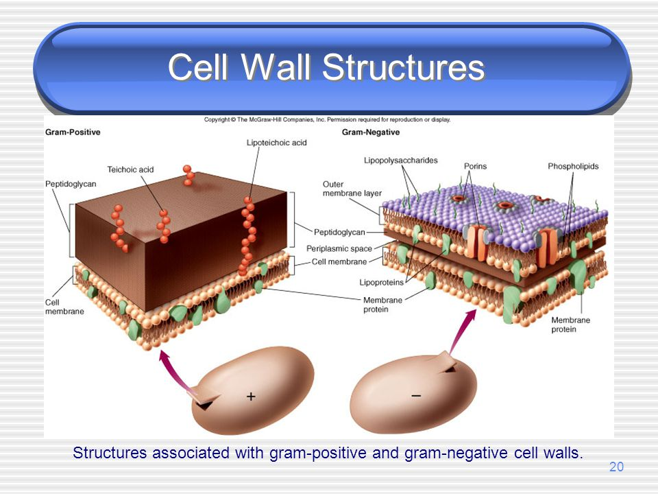 Structures associated with gram-positive and gram-negative cell walls.