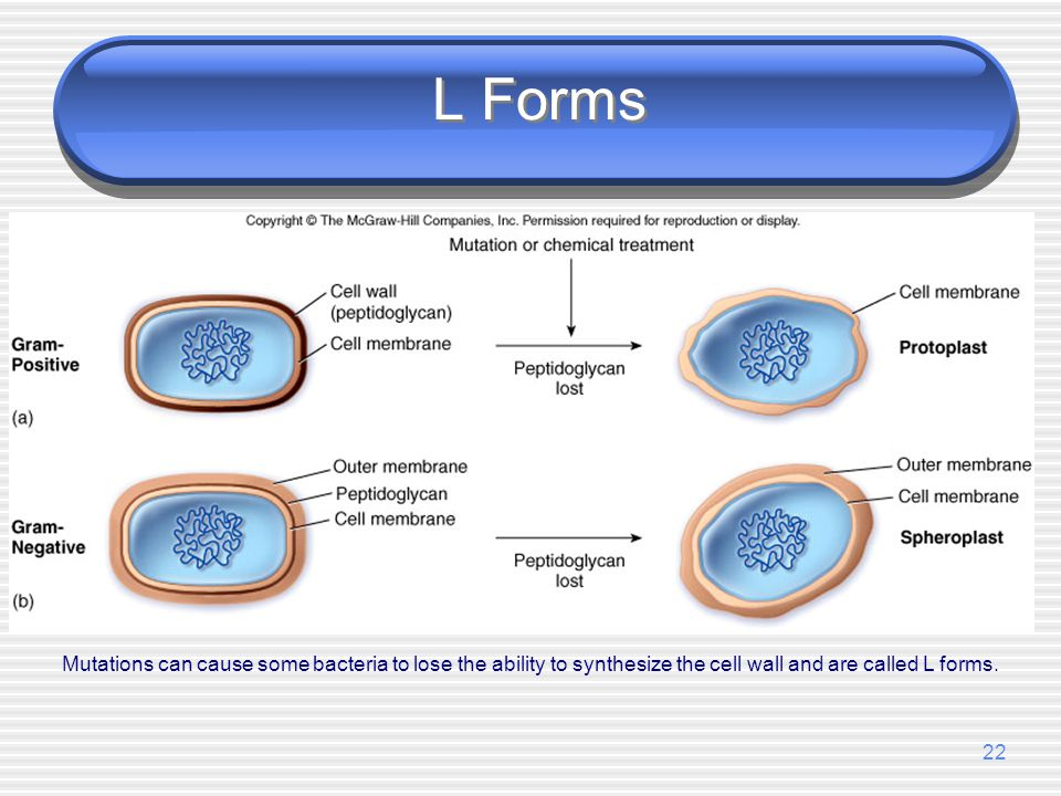 L Forms Mutations can cause some bacteria to lose the ability to synthesize the cell wall and are called L forms.