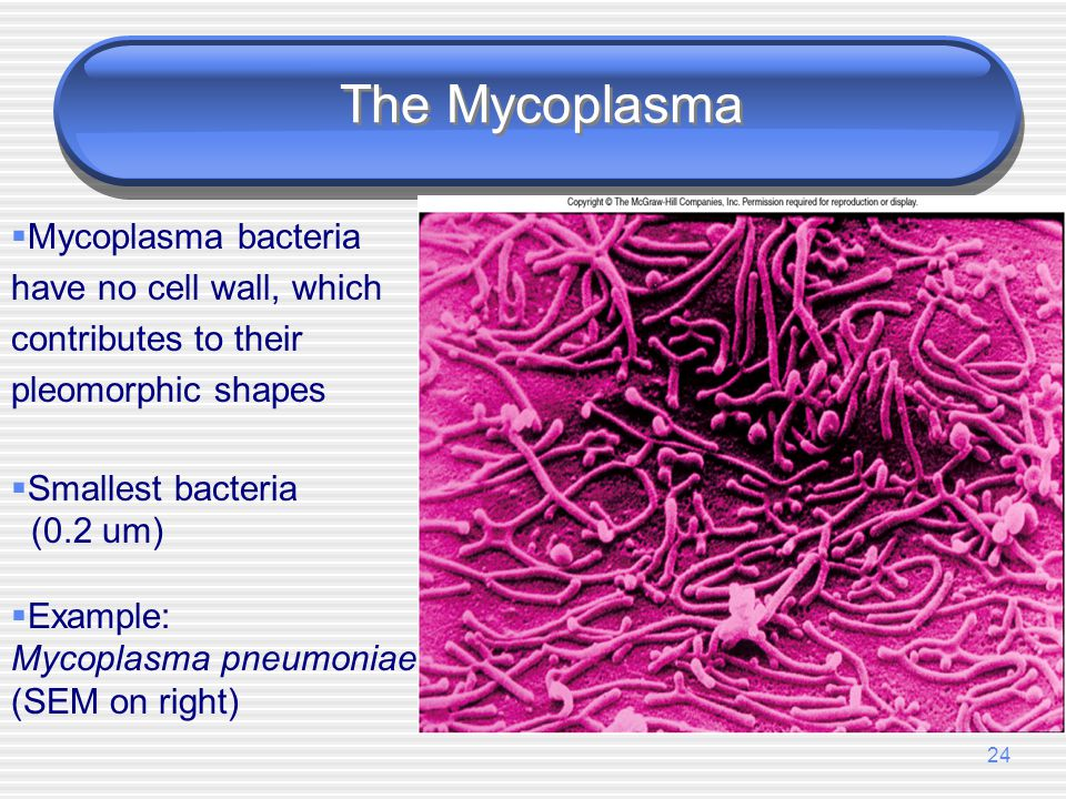The Mycoplasma Mycoplasma bacteria have no cell wall, which contributes to their pleomorphic shapes.