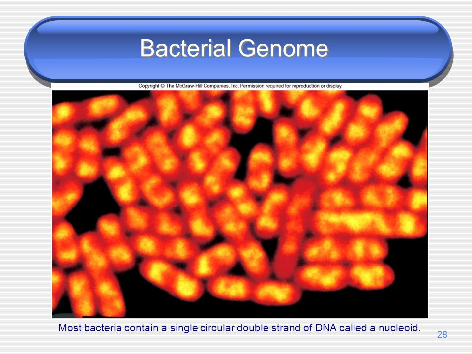 Bacterial Genome Most bacteria contain a single circular double strand of DNA called a nucleoid.