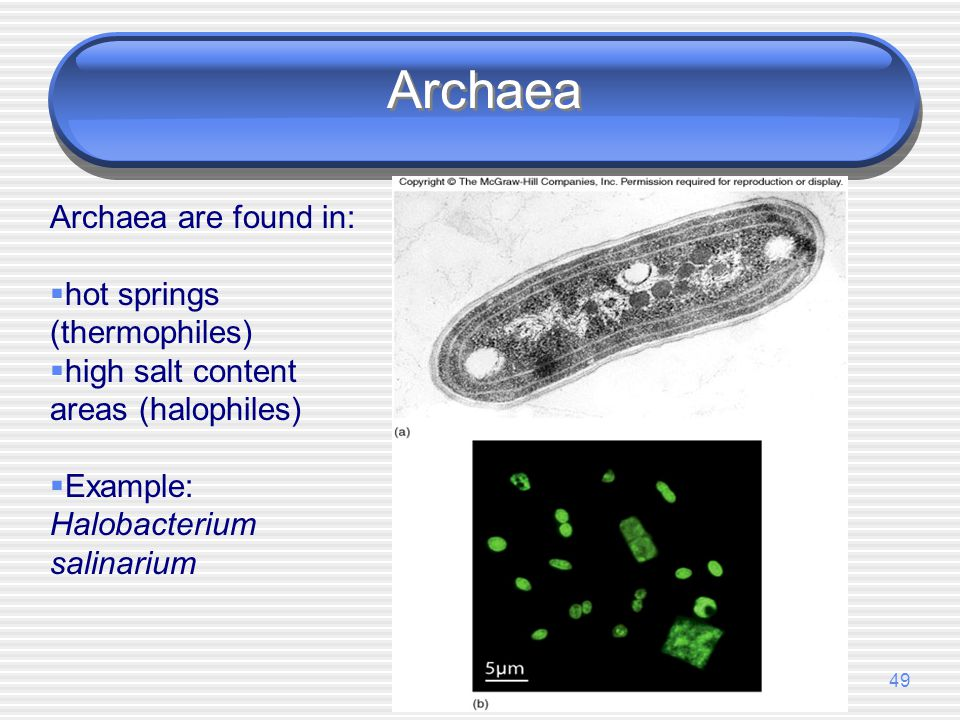 Archaea Archaea are found in: hot springs (thermophiles)