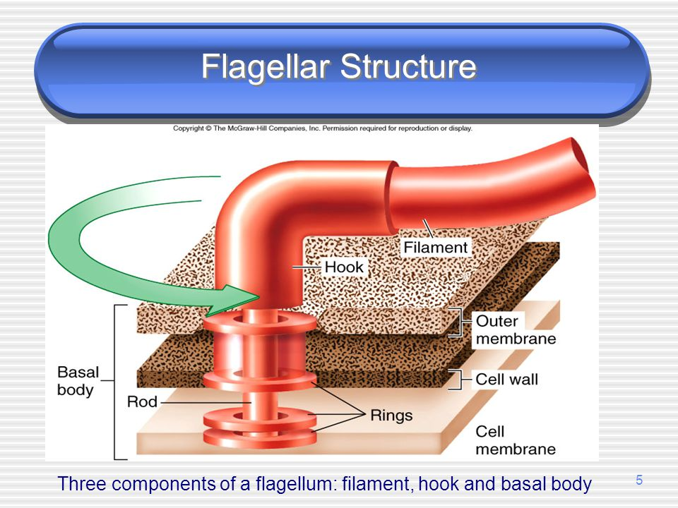 Three components of a flagellum: filament, hook and basal body