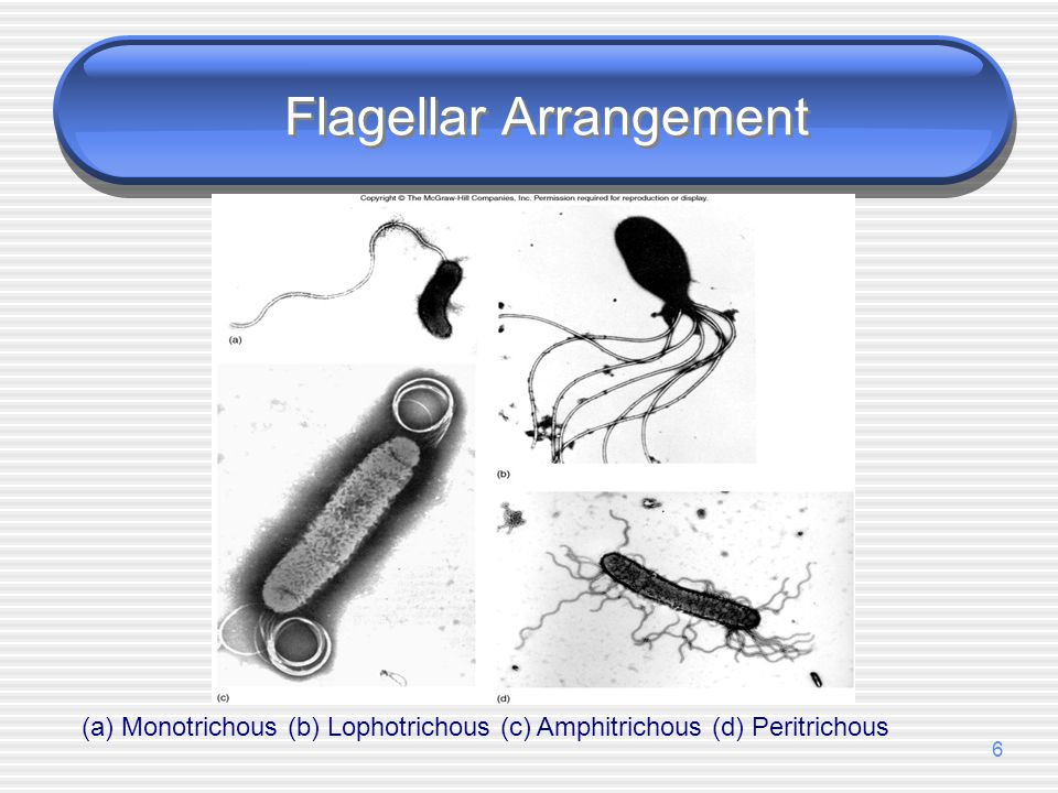 Flagellar Arrangement