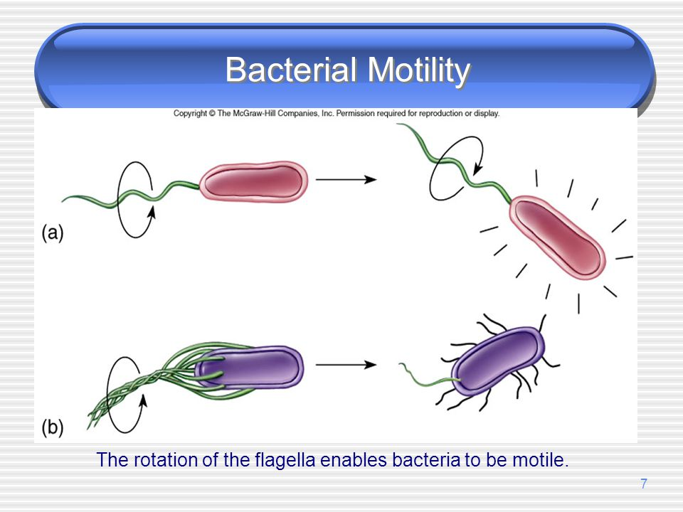 The rotation of the flagella enables bacteria to be motile.