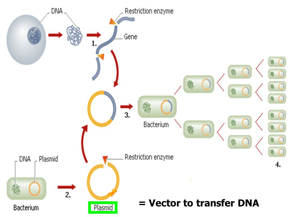 = Vector to transfer DNA