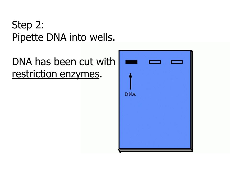 Step 2: Pipette DNA into wells. DNA has been cut with restriction enzymes.