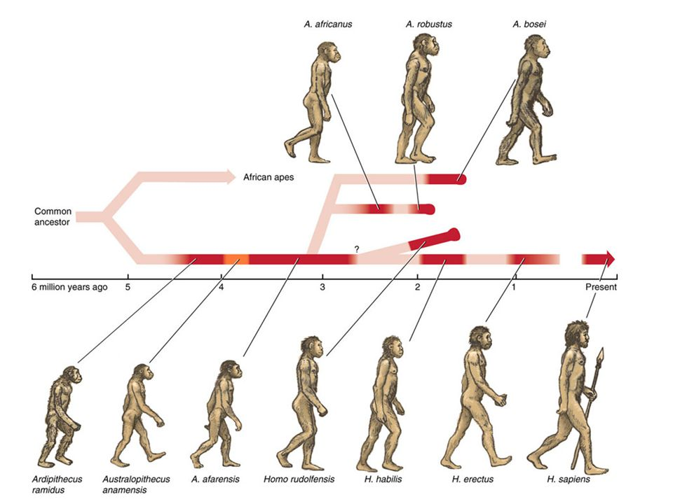 an analysis of the evolution of bipedalism for the early hominids
