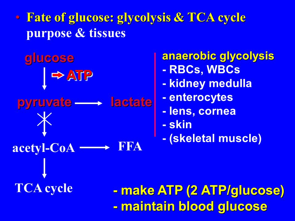 insulin and tca cycle Mitochondrial dysfunction has been reported in insulin-resistant skeletal muscle as morphologic defects, decreased mitochondrial content, respiration, atp synthesis, and tca cycle turnover kelley et al, 2002.