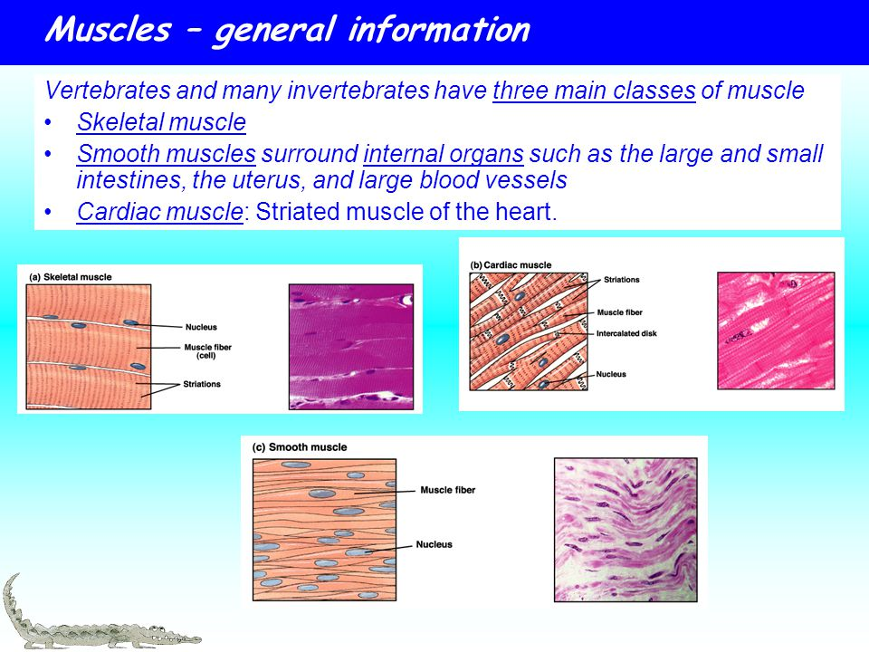 muscles – general information - ppt download, Muscles