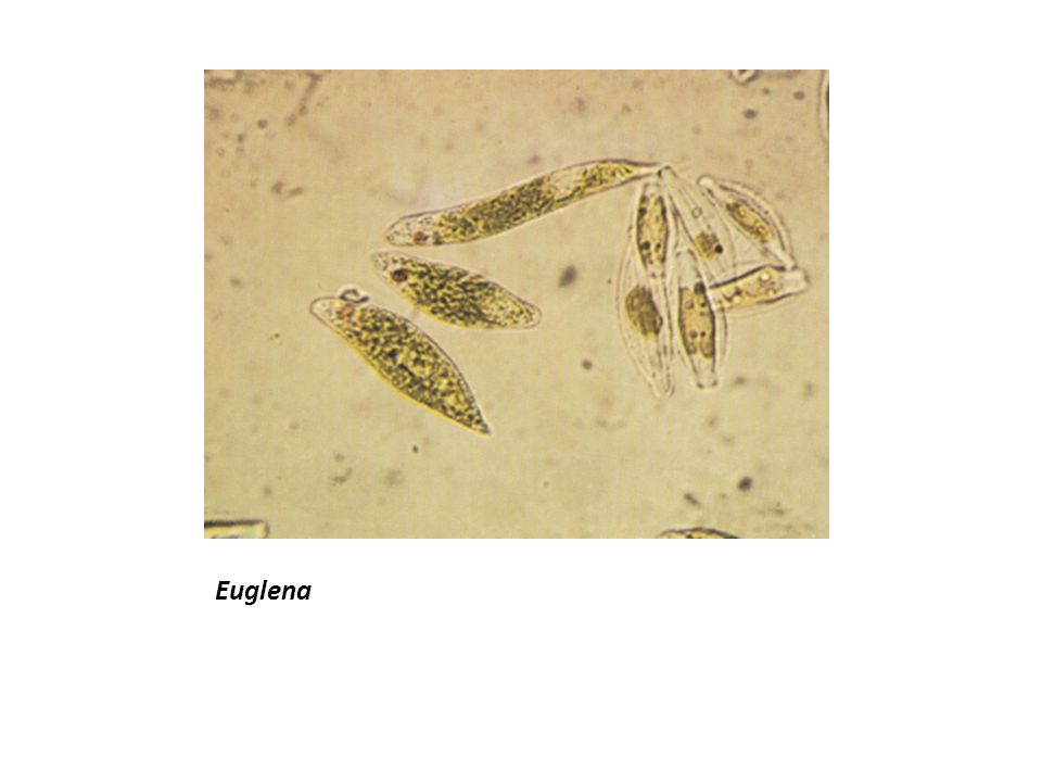 Euglena Prepared Slide Lab 1 Microscop...