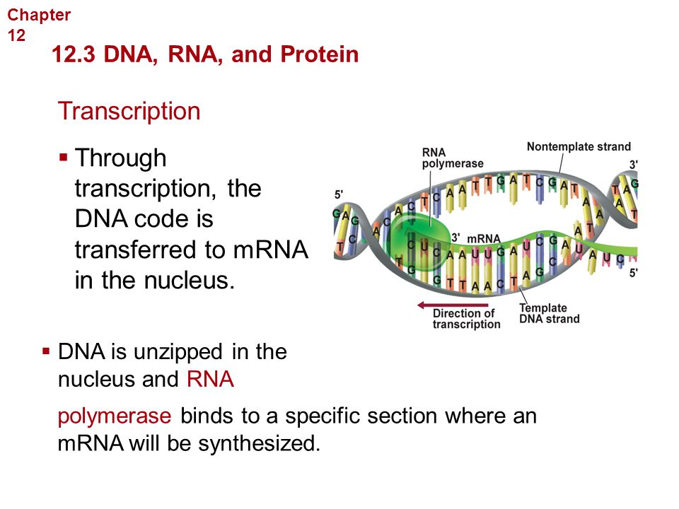 Section 12 3 Rna And Protein Synthesis Worksheet Answers : Georgia Performance Standards  Ppt Download With Chapter  Molecular Genetics  Dna Rna And Protein Transcription From Slideplayer.com Photos