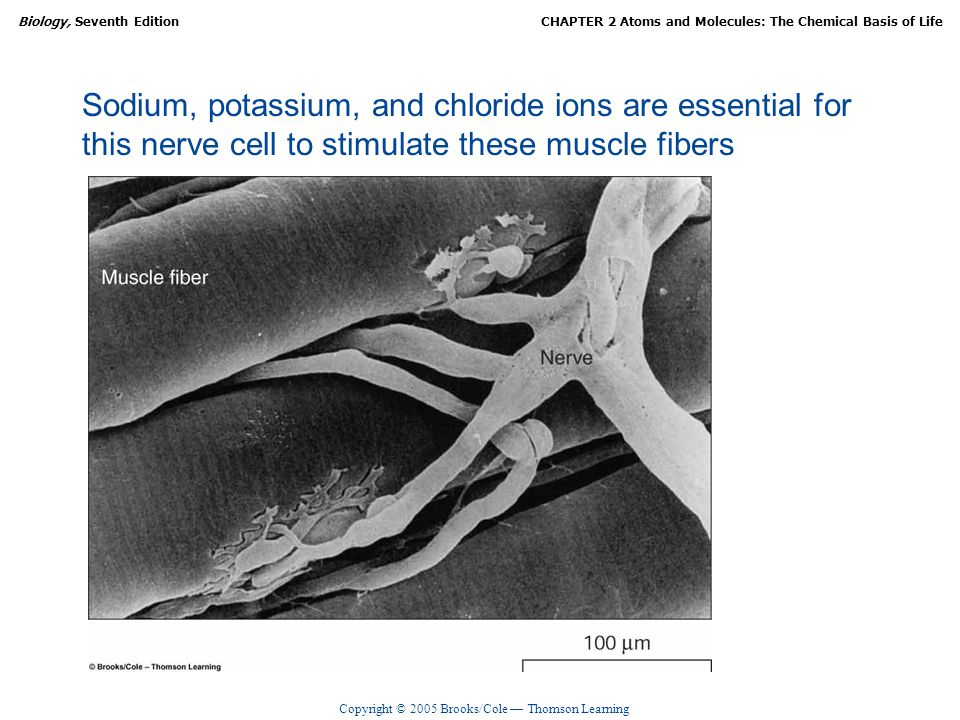 Sodium, potassium, and chloride ions are essential for this nerve cell to stimulate these muscle fibers