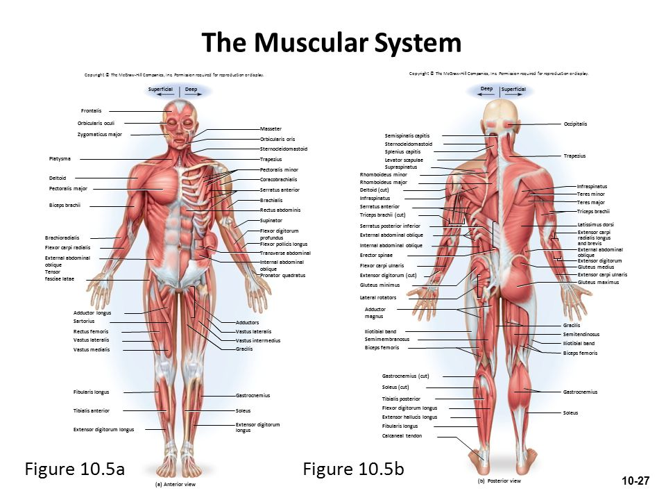 Outstanding Anatomy And Physiology Of Muscular System Mold - Anatomy ...
