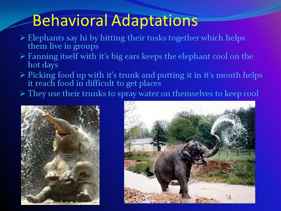 Elephants The Biggest Land Animal Alive - ppt download