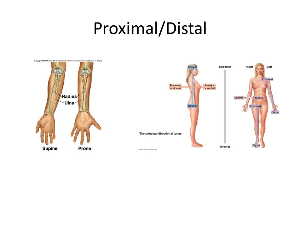 Proximal And Distal Anatomy