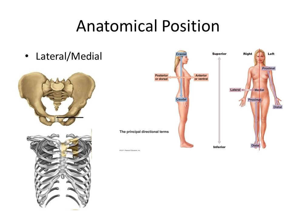 Anatomy anatomical position