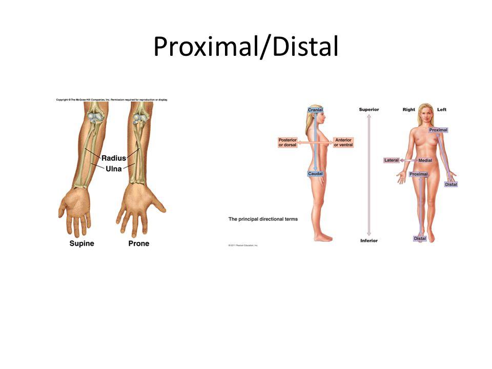 Gemtlich Distal And Proximal Anatomy Zeitgenssisch Menschliche