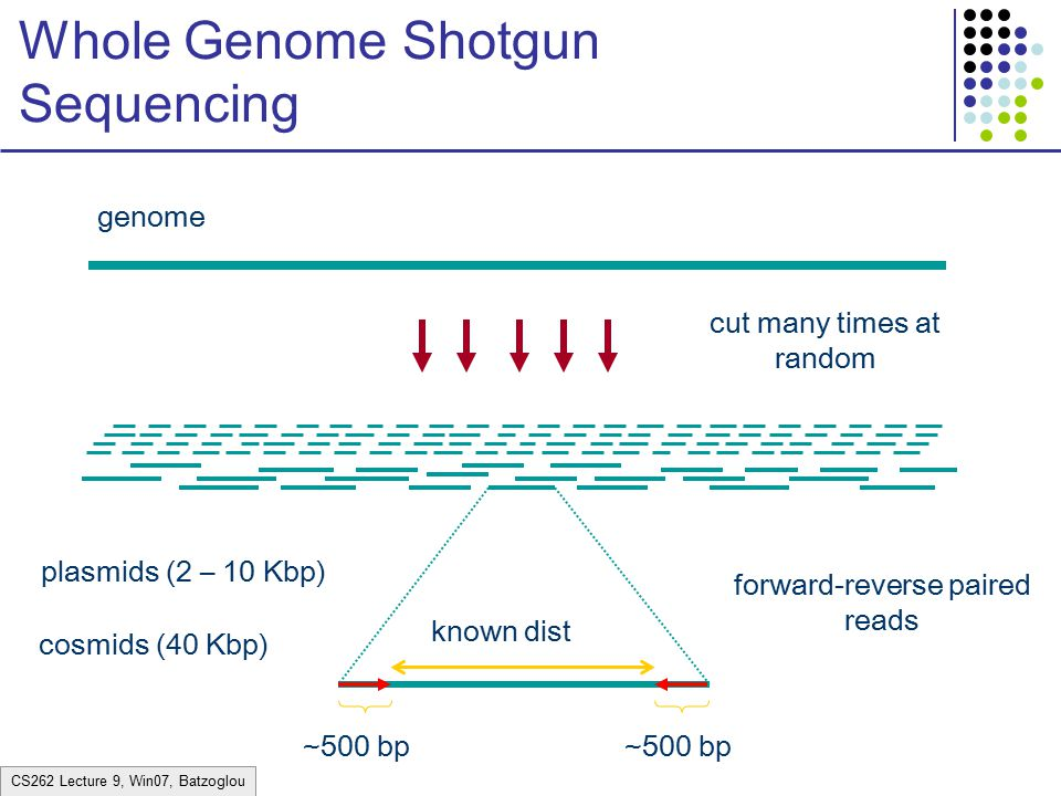 shotgun sequencing In shotgun sequencing many copies of the entire genome are.