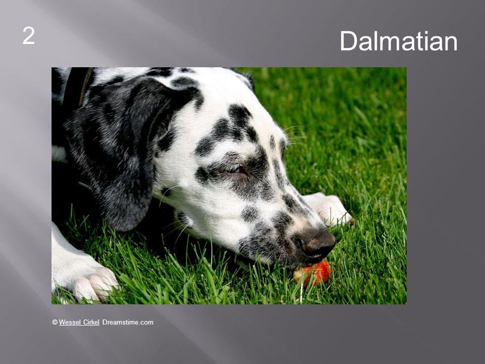 2 Dalmatian © Wessel Cirkel Dreamstime.com