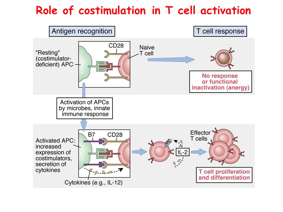 Role of costimulation in T cell activation