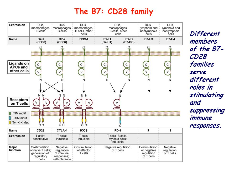 The B7: CD28 family Different members of the B7-CD28 families serve