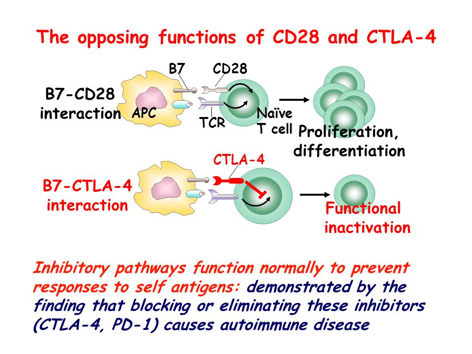 The opposing functions of CD28 and CTLA-4