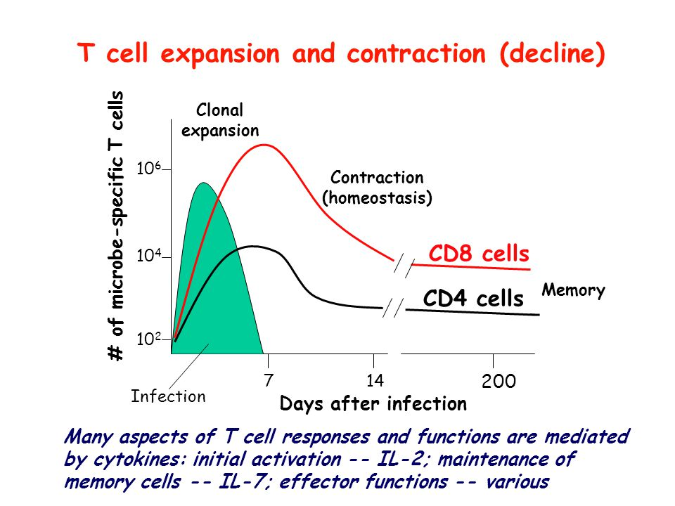 T cell expansion and contraction (decline)