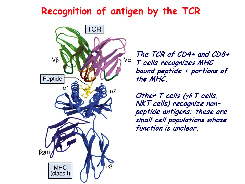 Recognition of antigen by the TCR