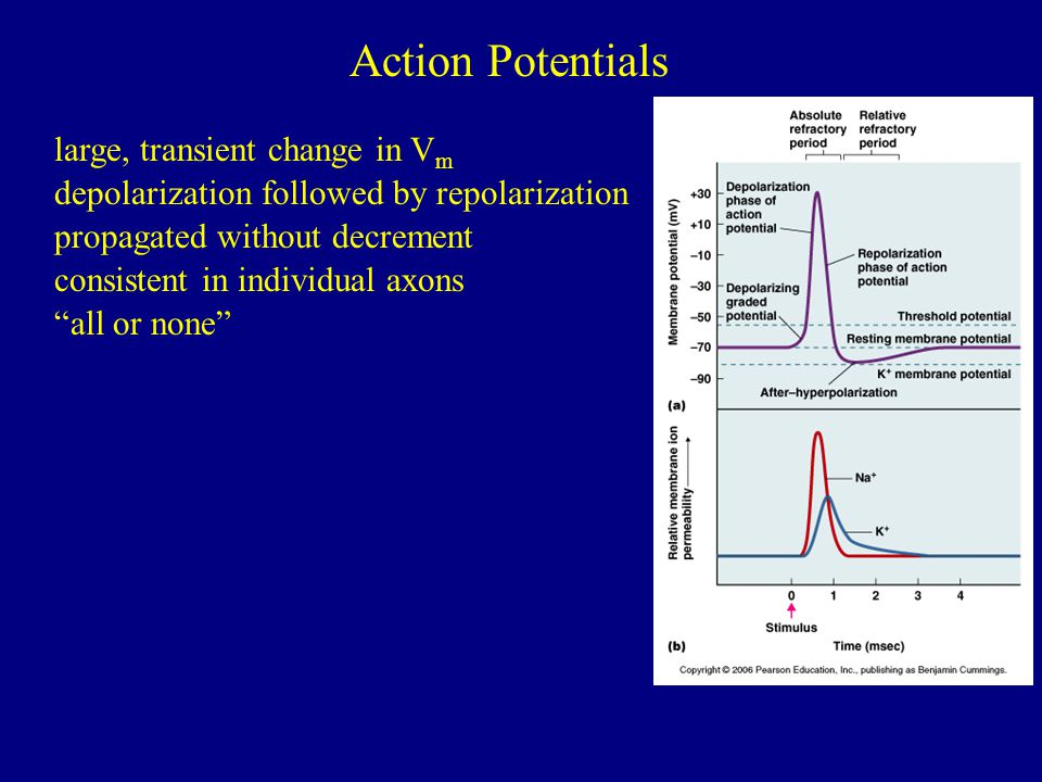 Action Potentials large, transient change in Vm
