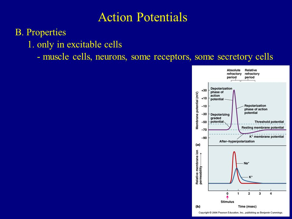 Action Potentials B. Properties 1. only in excitable cells
