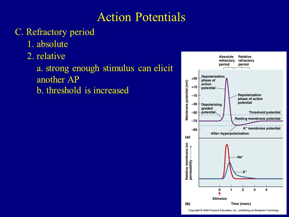 Action Potentials C. Refractory period 1. absolute 2. relative