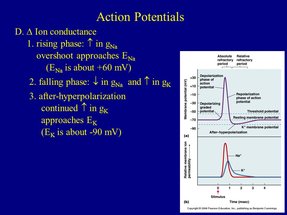 Action Potentials D. ∆ Ion conductance 1. rising phase:  in gNa