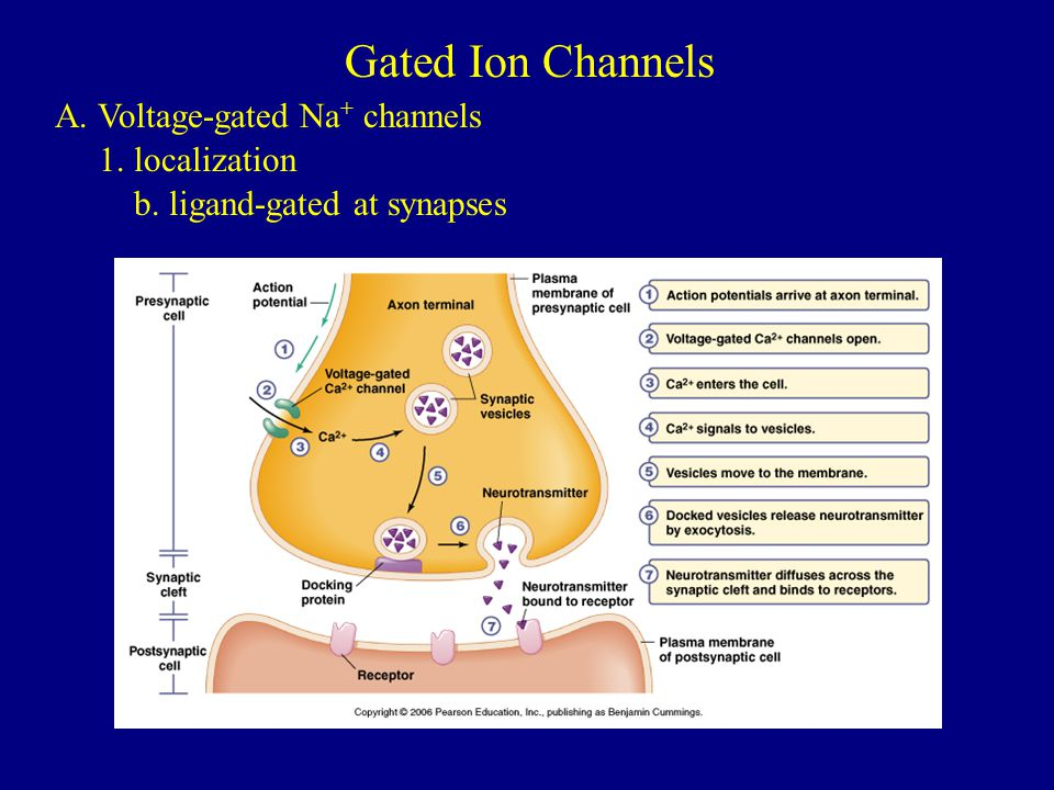 Gated Ion Channels A. Voltage-gated Na+ channels 1. localization