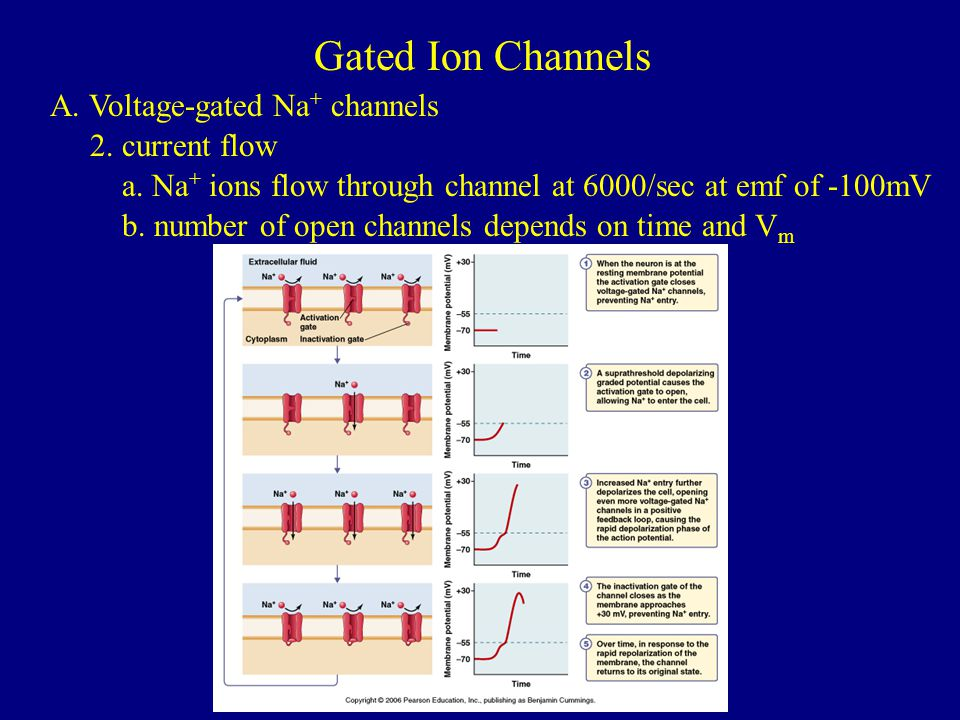 Gated Ion Channels A. Voltage-gated Na+ channels 2. current flow