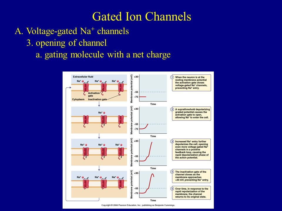Gated Ion Channels A. Voltage-gated Na+ channels 3. opening of channel