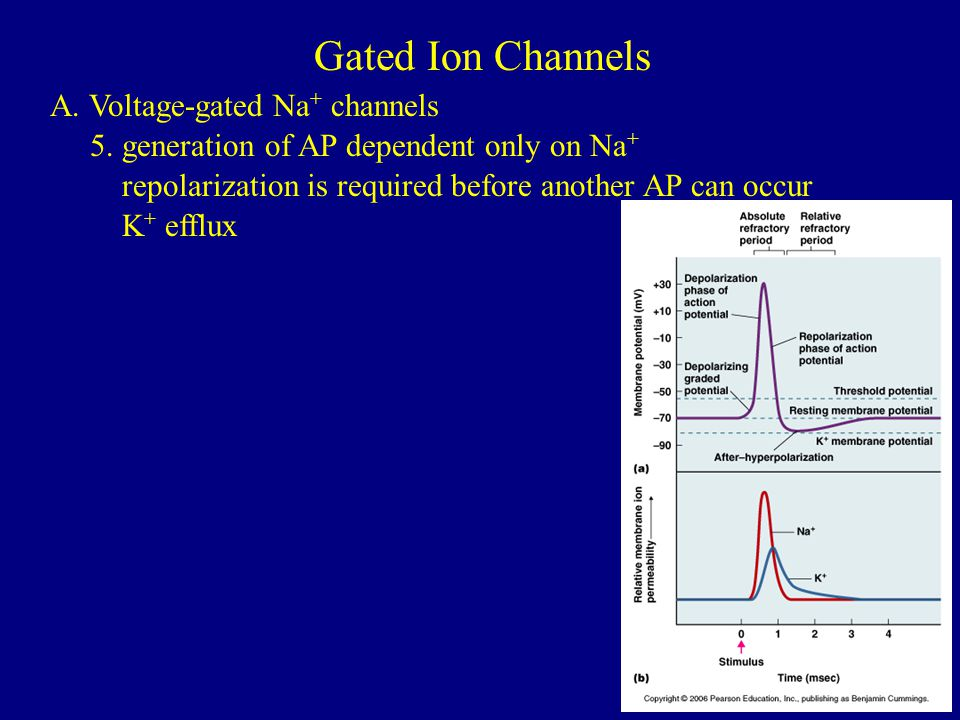 Gated Ion Channels A. Voltage-gated Na+ channels
