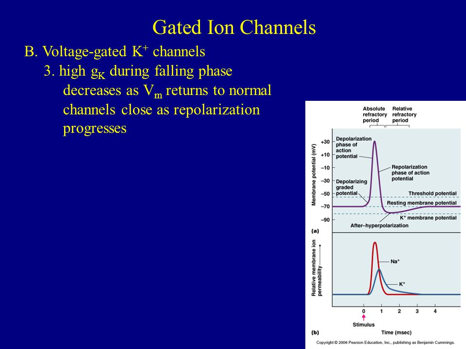 Gated Ion Channels B. Voltage-gated K+ channels