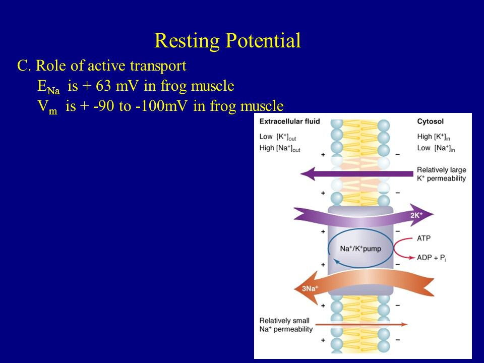Resting Potential C. Role of active transport