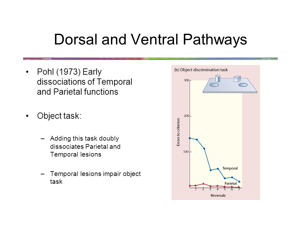 Dorsal and Ventral Pathways