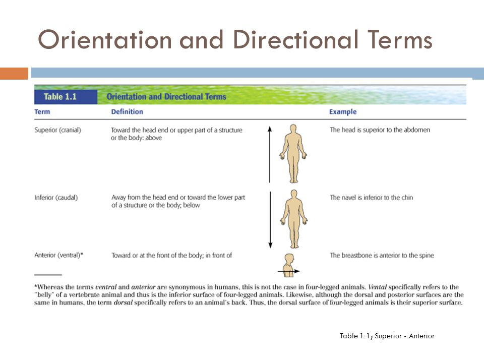 Answer the question being asked about Anatomy directional terms game – Anatomy Directional Terms Worksheet