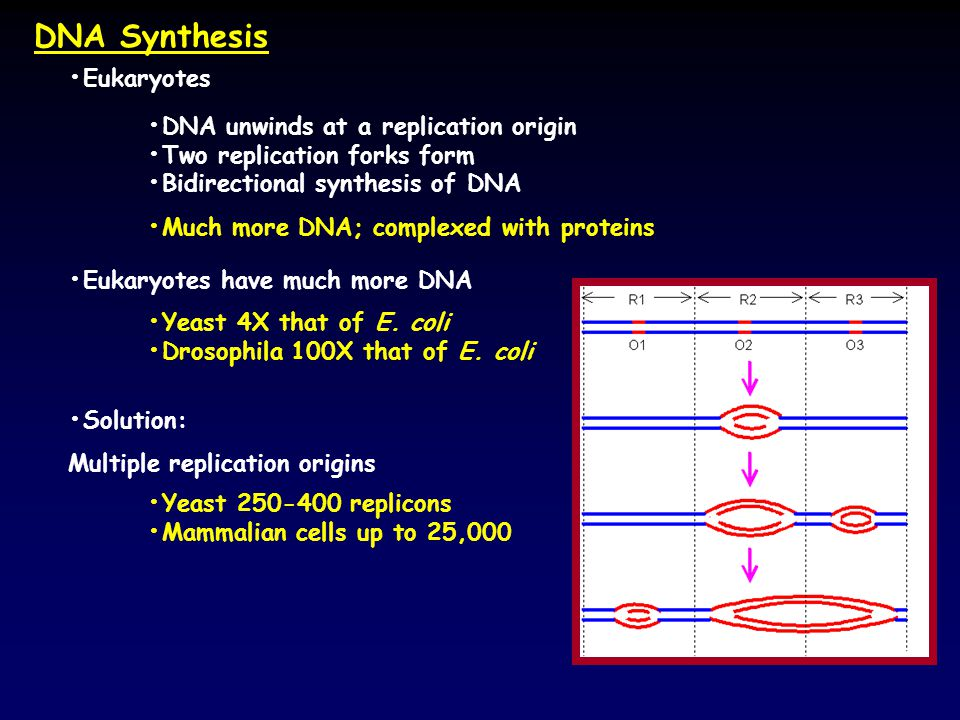 Dna Synthesis Eukaryotes Ppt Video Online Download