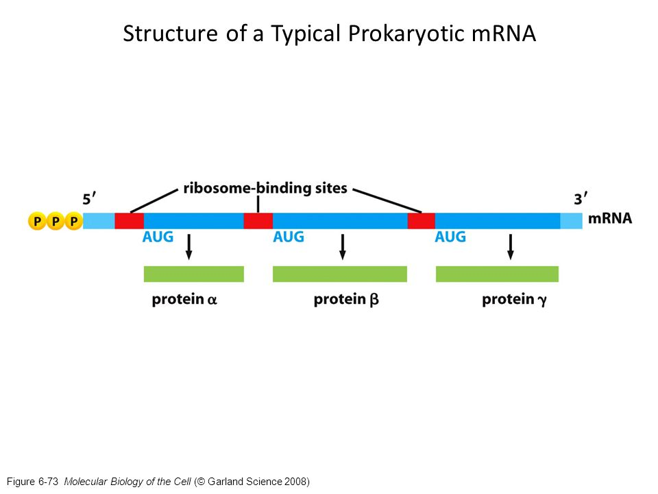 Prokaryotic Translation - ppt video online download