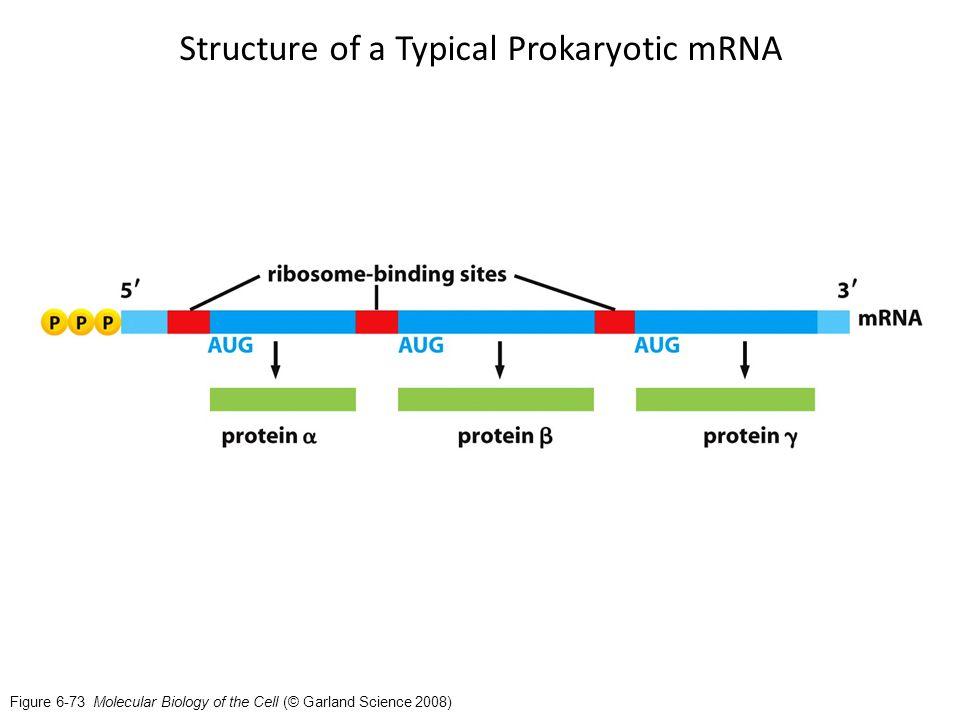 Prokaryotic Translation - ppt video online download