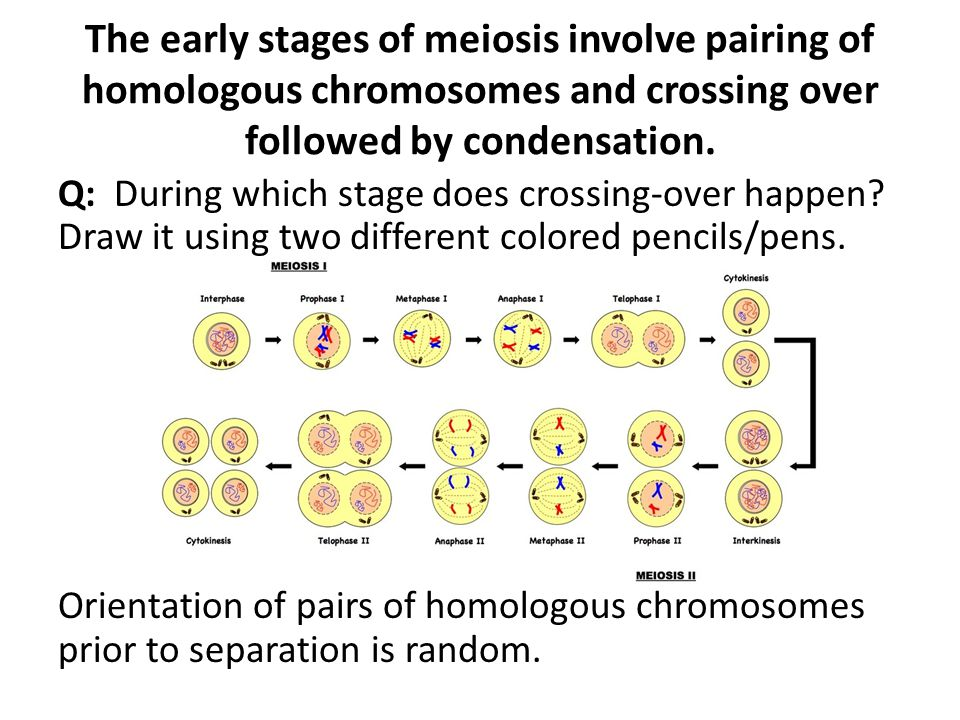 meiosis and gametes