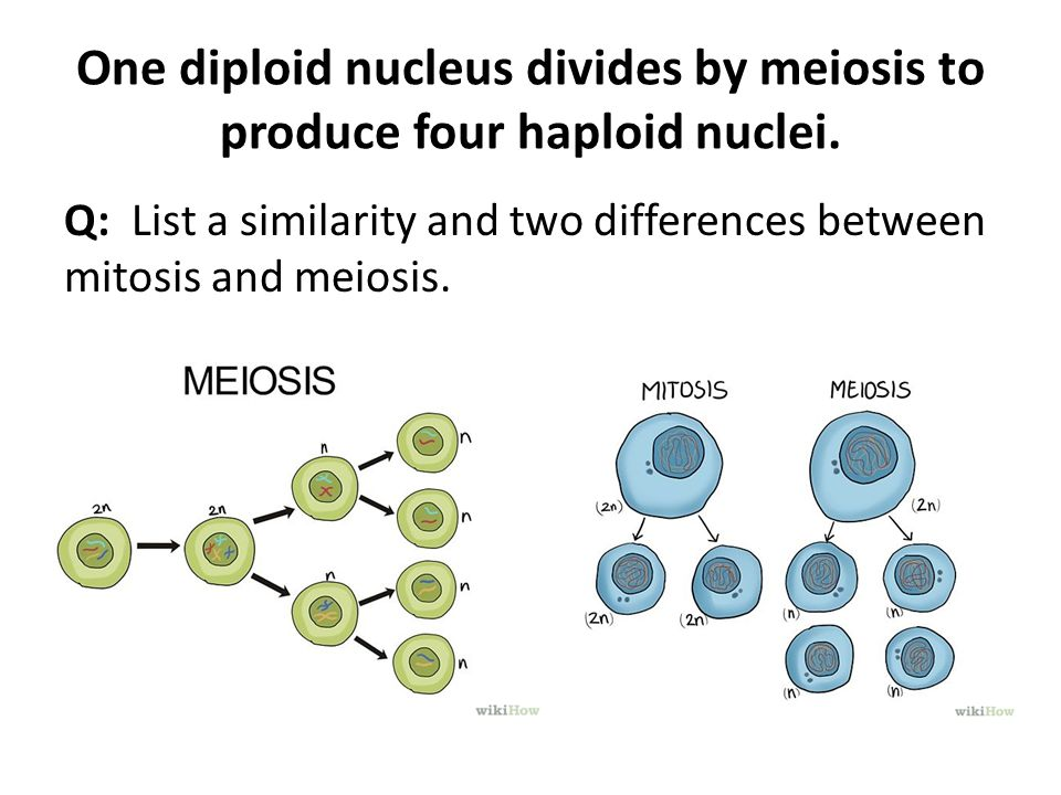some similarities and differences between mitosis and meio 32 differences between mitosis and meiosis meio escondida - sobre o plantão compare the similarities and differences between meiosis and.