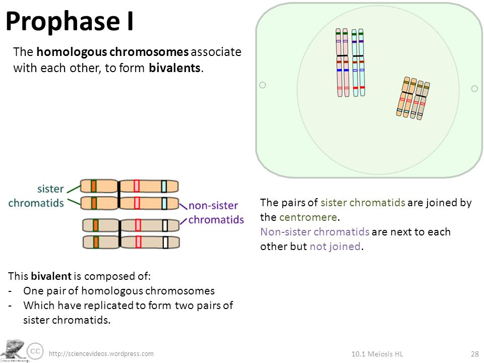 3.3 Meiosis Alleles segregate during meiosis allowing new ...