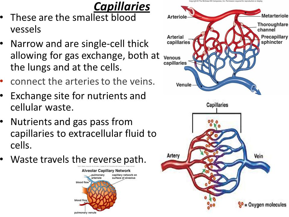 veins and arteries meet at where nutrients are exchanged