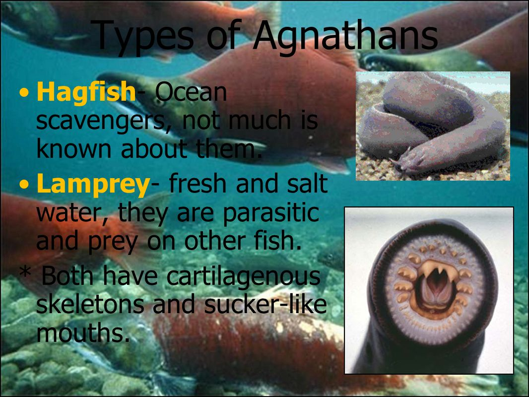 FISH (and chordates). - ppt download