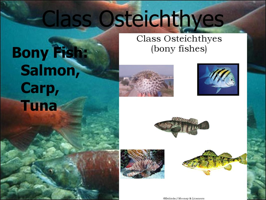 Fish and chordates ppt download for Types of bony fish