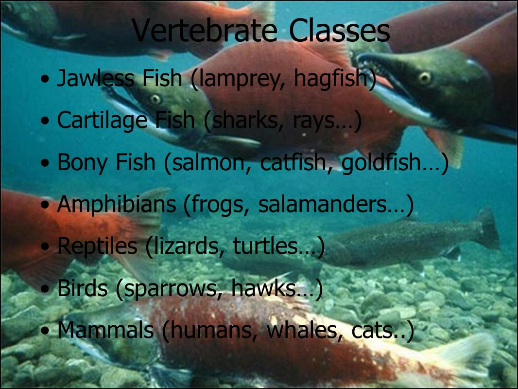 Fish and chordates ppt download for Bony fish characteristics